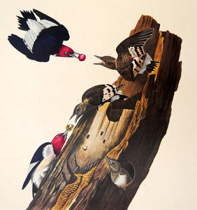 Closer view of Amsterdam Audubon limited edition lithograph of pl. 27 Red-Headed Woodpecker