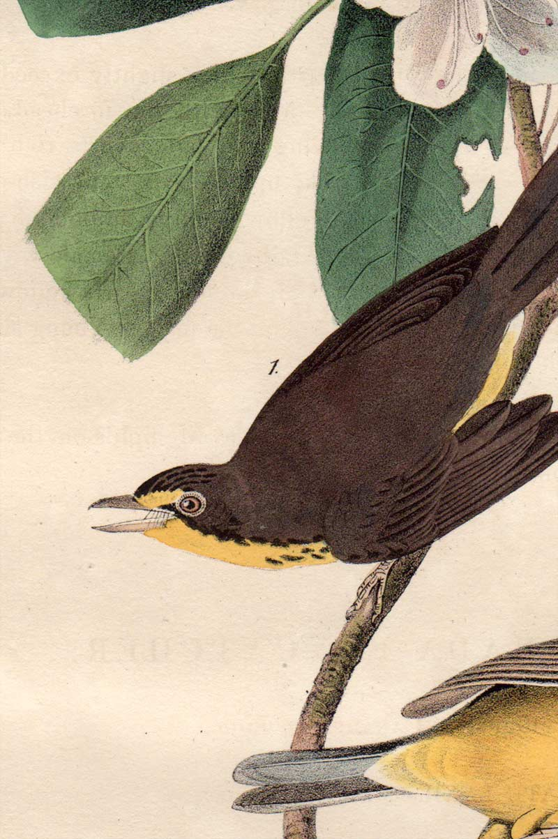 Detail view of Audubon Octavo 1840 First Edition Plate 72 Canada Flycatcher