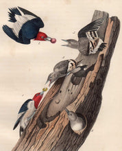 Load image into Gallery viewer, Audubon Octavo Print for sale Plate 271 Red Headed Woodpecker 1840 First Edition, closer view