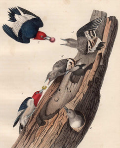 Audubon Octavo Print for sale Plate 271 Red Headed Woodpecker 1840 First Edition, closer view