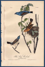 Load image into Gallery viewer, Full sheet view of Audubon Octavo 1840 First Edition Plate 204 Blue Long Grosbeak