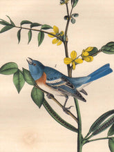 Load image into Gallery viewer, Detail view of Audubon Octavo 1840 First Edition Plate 171 Lazuli Finch