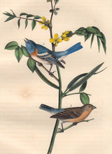Load image into Gallery viewer, Closer view of Audubon Octavo 1840 First Edition Plate 171 Lazuli Finch