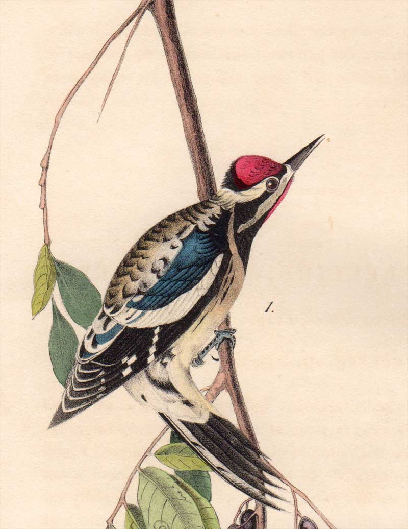 Detail view of Audubon Octavo 1840 First Edition Plate 267 Yellow-Bellied Woodpecker