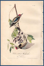Load image into Gallery viewer, Full sheet view of Audubon Octavo 1840 First Edition Plate 267 Yellow-Bellied Woodpecker