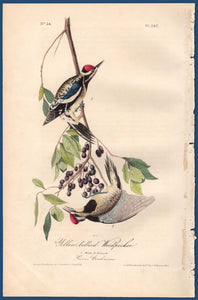 Full sheet view of Audubon Octavo 1840 First Edition Plate 267 Yellow-Bellied Woodpecker