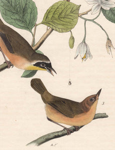 Audubon First Edition Octavo Prints for sale Pl 102 Maryland Ground Warbler, detail