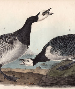 Audubon First Edition Octavo Prints for sale Pl 378 Barnacle Goose, detail