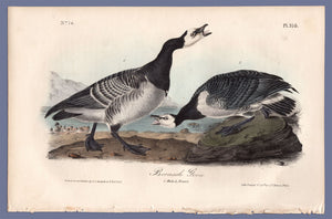 Audubon First Edition Octavo Prints for sale Pl 378 Barnacle Goose, full sheet