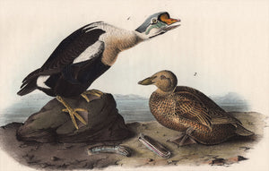 Audubon First Edition Octavo Print for sale Pl 404 King Duck, closer view