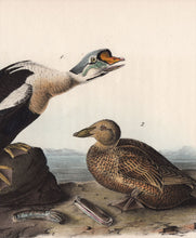 Load image into Gallery viewer, Audubon First Edition Octavo Print for sale Pl 404 King Duck, detail view