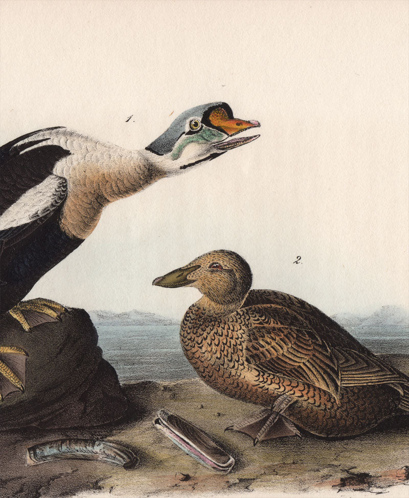 Audubon First Edition Octavo Print for sale Pl 404 King Duck, detail view