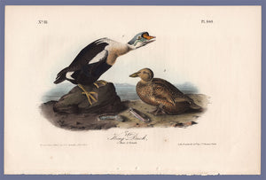 Audubon First Edition Octavo Print for sale Pl 404 King Duck, full sheet