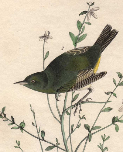 Audubon First Edition Octavo Print for sale Pl 112 Orange-Crowned Swamp Warbler, detail