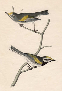 Audubon First Edition Octavo Print for sale Pl 107 Golden-Winged Swamp Warbler, closer view