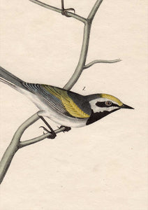 Audubon First Edition Octavo Print for sale Pl 107 Golden-Winged Swamp Warbler, detail