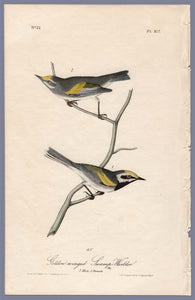 Audubon First Edition Octavo Print for sale Pl 107 Golden-Winged Swamp Warbler, full sheet