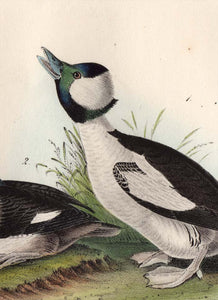 Audubon First Edition Octavo Print for sale 408 Buffel-Headed Duck, detail