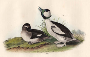 Audubon First Edition Octavo Print for sale 408 Buffel-Headed Duck, closer view