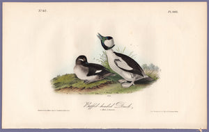 Audubon First Edition Octavo Print for sale 408 Buffel-Headed Duck, full sheet