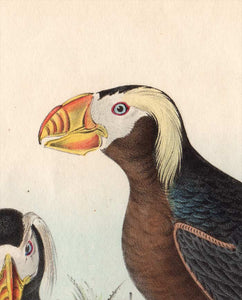 Audubon 1840 First Edition Octavo Print for sale plate 462 Tufted Puffin, detail