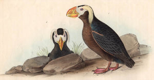 Audubon Octavo Print, plate 462 Tufted Puffin, 1840 First Edition detail