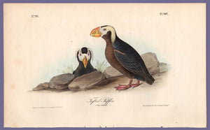 Audubon Octavo Print, plate 462 Tufted Puffin, 1840 First Edition, full sheet