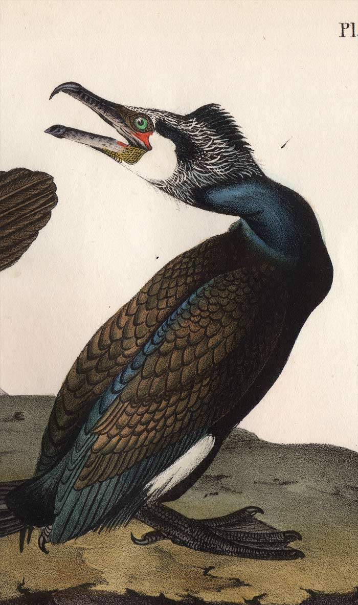 Audubon Octavo Print, plate 415 Common Cormorant, 1840 First Edition, detail