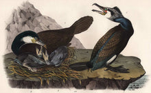 Load image into Gallery viewer, Audubon Octavo Print, plate 415 Common Cormorant, 1840 First Edition, detail