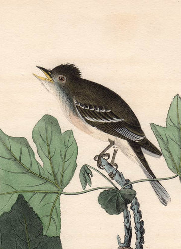 Audubon Octavo Print, plate 65 Traill's Flycatcher, 1840 First Edition, detail