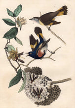 Load image into Gallery viewer, Audubon Octavo Print 68 American Redstart 1840 First Edition, detail
