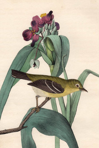 Audubon Octavo Print 67 Small-Headed Flycatcher 1840 First Edition, detail