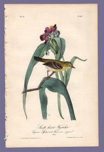 Audubon Octavo Print 67 Small-Headed Flycatcher 1840 First Edition, full sheet