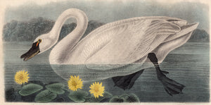 Audubon Octavo Print 384 American Swan 1840 First Edition, closer view