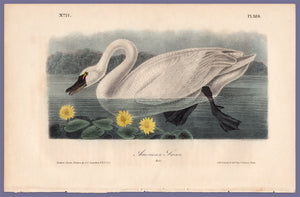 Audubon Octavo Print 384 American Swan 1840 First Edition, full sheet