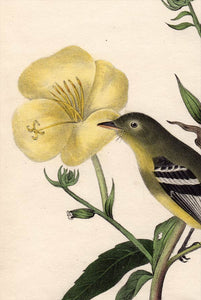 Audubon Octavo Print 490 Yellow-Bellied Flycatcher 1840 First Edition, detail