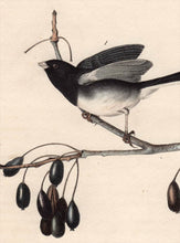 Load image into Gallery viewer, Audubon Octavo Print 167 Common Snow-Bird Junco 1840 First Edition, detail