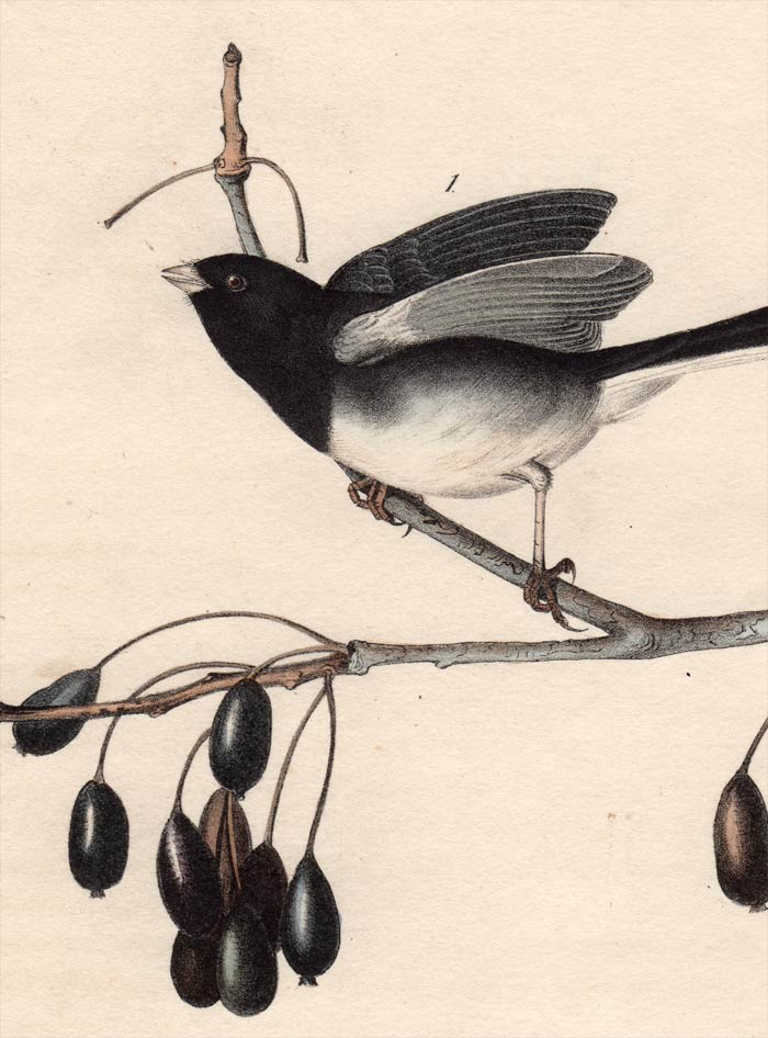 Audubon Octavo Print 167 Common Snow-Bird Junco 1840 First Edition, detail