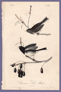 Audubon Octavo Print 167 Common Snow-Bird Junco 1840 First Edition, full sheet