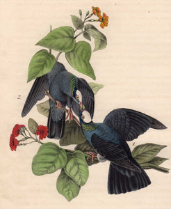 Audubon Octavo Print 280 White-Headed Dove or Pigeon 1840 First Edition, detailed view