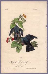 Audubon Octavo Print 280 White-Headed Dove or Pigeon 1840 First Edition, full sheet