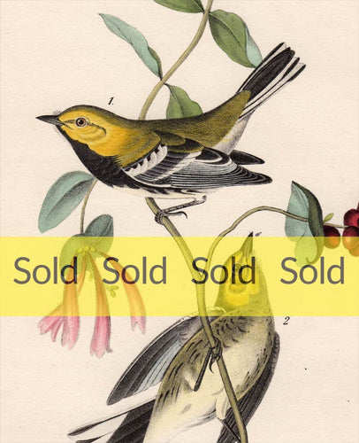 Audubon Octavo Print 84 Black-Throated Green Warbler, 1840 First Edition, detail
