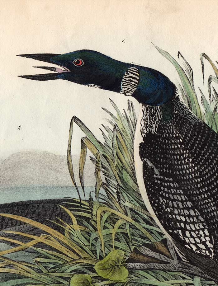 Audubon Octavo Print 476 Great North Diver or Loon, 1840 First Edition, detail