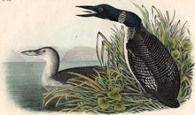 Load image into Gallery viewer, Audubon Octavo Print 476 Great North Diver or Loon, 1840 First Edition, detail