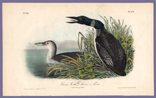 Load image into Gallery viewer, Audubon Octavo Print 476 Great North Diver or Loon, 1840 First Edition, full sheet