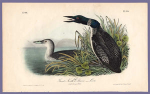 Audubon Octavo Print 476 Great North Diver or Loon, 1840 First Edition, full sheet
