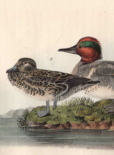 Load image into Gallery viewer, Audubon Octavo Print 392 Green-Winged Teal, 1840 First Edition, detail