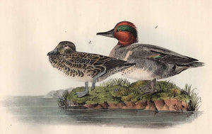 Audubon Octavo Print 392 Green-Winged Teal, 1840 First Edition, detail