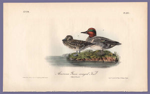 Audubon Octavo Print 392 Green-Winged Teal, 1840 First Edition, full sheet