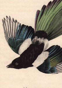 Audubon Octavo Print 227 Common Magpie, 1840 First Edition, detail